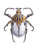 Goliathus (Goliath beetles) Stock Photos