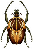 Goliathus regius - Goliath beetle Royalty Free Stock Photos