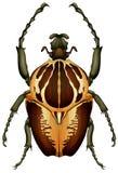 Goliathus regius - Goliath beetle stock illustration
