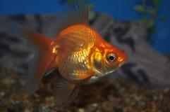 Golldfish imagen de archivo libre de regalías