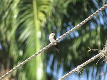GOLONDRINA AVE VENEZOLANA WILD FAUNA. GOLONDRINA VENEZUELAN AVE FAUNA WILDERNESS STATE ARAGUA NATIONAL PARK HENRI PITTIER FOREST RURAL ANIMALS CONVIVING WITH royalty free stock images