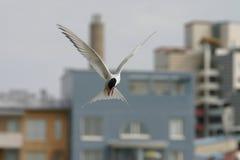 Golondrina de mar ártica Foto de archivo