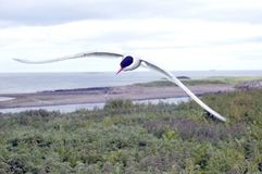 Golondrina de mar ártica en vuelo. imagen de archivo