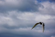 Golondrina de mar ártica que vuela Fotos de archivo