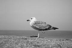 Golondrina de mar Foto de archivo