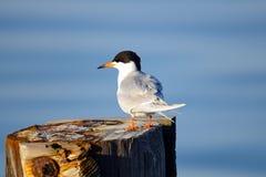 Golondrina de mar de Forster Fotos de archivo libres de regalías