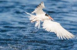 Golondrina de mar de la caza Imagen de archivo libre de regalías