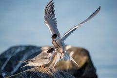 Golondrina de mar del campo común del cortejo de los pájaros Fotografía de archivo