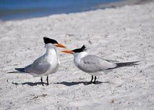 Golondrina de mar del golfo, la Florida Fotografía de archivo