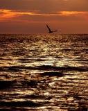 Golondrina de mar en la puesta del sol Imagenes de archivo