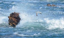 Golondrina de mar rápida en vuelo Imagen de archivo libre de regalías