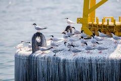 Golondrina de mar rosada y ` negro-naped el encaramarse adulto y juvenil de s de la golondrina de mar en la boya imagenes de archivo