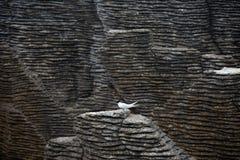 Golondrina de mar sola contra el contraste oscuro de las formaciones de roca de la crepe, Punakaiki imagen de archivo libre de regalías