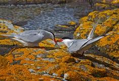 Golondrinas de mar árticas Fotos de archivo libres de regalías