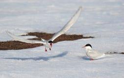 Golondrinas de mar árticas Foto de archivo