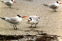 Golondrinas de mar caspias Fotos de archivo libres de regalías