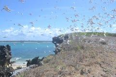 Golondrinas de mar de la isla de la ballena fotografía de archivo libre de regalías