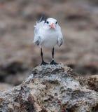 Golondrinas de mar de Playa Canoa Foto de archivo