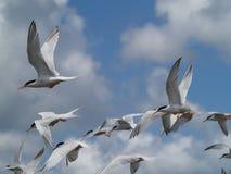 Golondrinas de mar del vuelo Foto de archivo libre de regalías