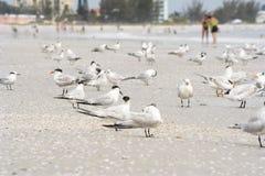 Golondrinas de mar en la playa Fotografía de archivo