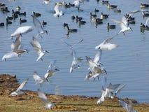 Golondrinas de mar patilludas que vuelan en el lago Randarda, Rajkot Fotografía de archivo