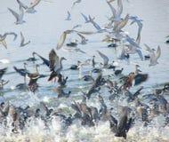 Golondrinas de mar patilludas que vuelan en el lago Randarda, Rajkot Imagen de archivo libre de regalías