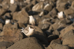 Golondrinas de mar que descansan sobre rocas Imagen de archivo