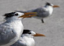 Golondrinas de mar reales (máximos de los esternones) que se colocan en una playa Imagen de archivo