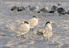 Golondrinas de mar y otros pájaros en la playa, la Florida Imagen de archivo