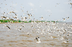 Golpe Poo, Tailândia: Um rebanho do voo das gaivotas. Imagem de Stock