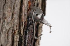 Golpecito del azúcar de arce en árbol Imagen de archivo libre de regalías