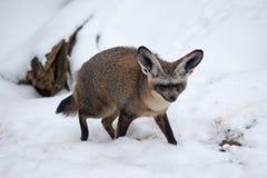 Golpee Fox espigado - megalotis de Otocyon en la nieve, parque zoológico de Praga Fotografía de archivo libre de regalías