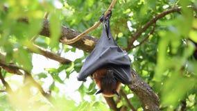 Golpeie a raposa de voo que pendura na árvore na natureza selvagem filme