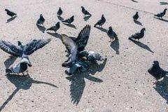 Golub doodt en pikt duif De vogels bekijken een stervende vogel Natuurlijke instincten van dieren Dode duif stock foto