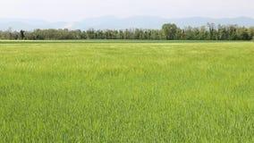 Golven die door de wind op een gebied van tarwe worden gecreeerd stock videobeelden