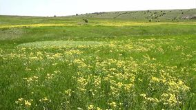 Golvend bloeiend gebied in de lente stock footage