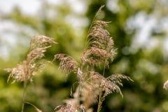 Golvend bloeiend gras royalty-vrije stock afbeeldingen