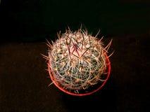 Golvend-gescherpte cactus Royalty-vrije Stock Afbeeldingen