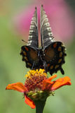 'Golving' (Pipevine Swallowtail) Royalty-vrije Stock Fotografie