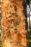 Goma da árvore da borracha imagens de stock