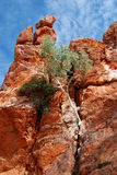 Goma de fantasma (aparrerinja de Corymbia) Imagens de Stock Royalty Free