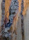Goma de Kino oozed da árvore de eucalipto Imagens de Stock