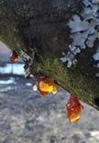 Goma de madeira imagem de stock