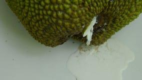 Goma do fruto de Jack que flui do cálice que deixa cair no assoalho de telha video estoque