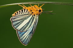 Gomata/maschio/farfalla di Bibasis Fotografia Stock Libera da Diritti