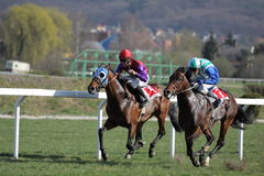 Gomba handicap - horse racing in Prague. 86th Gomba handicap, Grand Prix AUTO HASE - Line honey horse led by the jockey Tomas Lukasek within the 86th Gomba Royalty Free Stock Photo