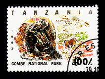 Gombe nationalpark, Olive Baboon (Papioanubis), serie, circa 1 Royaltyfri Bild