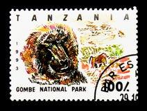 Gombe park narodowy, Oliwny pawian, seria, około 1 (Papio anubis) Obraz Royalty Free
