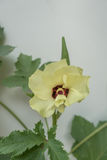 Gombo, fioritura della pianta del dito del ` s di signora Fotografia Stock