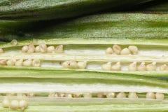Gombo frais avec la graine Photos libres de droits